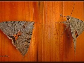 Noctuidae (Baykuşkelebekleri) Fam. Catocalinae, Catocala elocata (Ankara 2007)