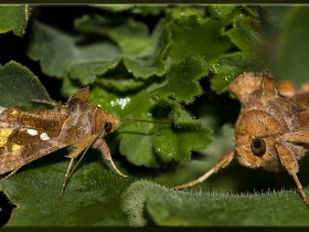 Noctuidae (Baykuşkelebekleri) Fam. Chrysodeixis chalcites (Plusiinae) (Ankara 2010)
