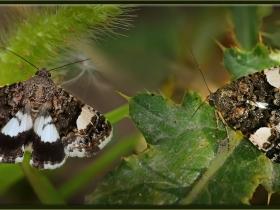 Noctuidae (Baykuşkelebekleri) Fam. Dört benekli güve - Tyta luctuosa - Four-spotted moth (Ankara 2008)