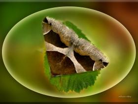 Noctuidae (Baykuşkelebekleri) Fam. Dysgonia algira (Sapanca 2008)