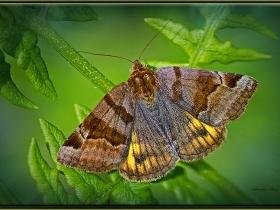 Noctuidae (Baykuşkelebekleri) Fam. Euclidia glyphica - Burnet companion (İzmit 2011)