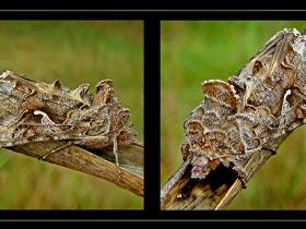 Noctuidae (Baykuşkelebekleri) Fam. Gammalı Kelebek - Autographa gamma - Silver Y moth (Sapanca 2007)
