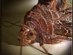 Noctuidae (Baykuşkelebekleri) Fam. Gammalı kelebek - Autographa gamma - Silver Y moth (Ankara 2012)