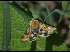 Noctuidae (Baykuşkelebekleri) Fam. Heliothis viriplaca - Marbled Clover (Ankara 2013)