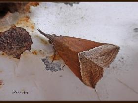 Noctuidae (Baykuşkelebekleri) Fam. Hypena lividalis (Jizan 2014)