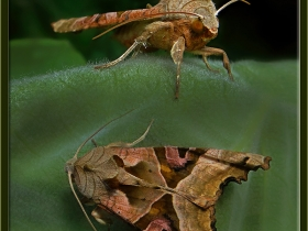 Noctuidae (Baykuşkelebekleri) Fam. Phlogophora meticulosa - Angle Shades  (İzmit 2011)