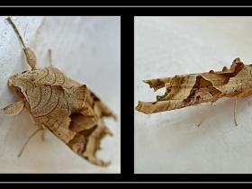 Noctuidae (Baykuşkelebekleri) Fam. Phlogophora meticulosa - Angle Shades (Polatlı 2007)