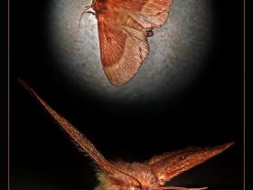 Lasiocampidae Fam. Lasiocampa trifolii (Ankara 2009)