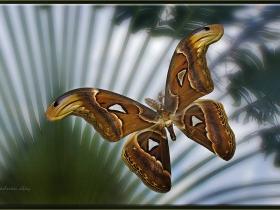 Saturniidae Fam. Atlas kelebeği - Attacus atlas - Snake's head moth (Malezya 2013)