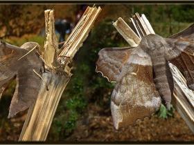 Sphingidae Fam. Kavak Atmaca Güvesi - Laothoe populi - Poplar Hawk moth (Ankara 2007)