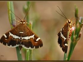 Pancar tırtıl güvesi - Spoladea recurvalis - Hawaiian Beet Webworm Moth (Adana