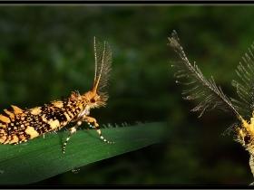 Mantar kelebekleri - Euplocamus ophisa (Sapanca 2013)