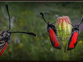 Mesembrynus-erythrus-Sluggish-Burnet-Ankara-2013