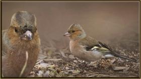 İspinoz - Fringilla coelebs - Common Chaffinch (Ankara 2011) 1