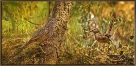 Arap yedikardeşi - Turdoides squamiceps - Arabian babbler (Jizan 2014)