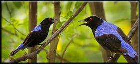Asya Peri mavikuşu - Irena puella - Fairy Blue bird (Kuala Lumpur 2013)