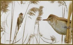 Büyük Kamışcın - Acrocephalus arundinaceus - Great Reed Warbler (Gölbaşı 2011) 1