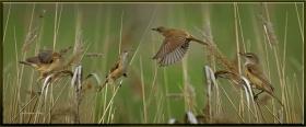 Bataklık kamışcını - Locustella lusciniodies - Savi`s Warbler (Gölbaşı, 2012)