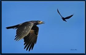 Ekin kargası - Corvus frugilegus - Rook (Kayseri 2010)