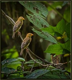 Filipin dokumacı kuşu - Ploceus philippinus - Baya Weaver (Kuala Lumpur 2013)