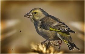 +Florya - Chloris chloris - European Greenfinch (Gölbaşı 2011) 4