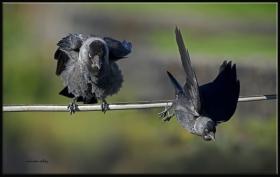 Küçük karga - Coloeus monedula - Western Jackdaw (Sarıkamış 2012) 3