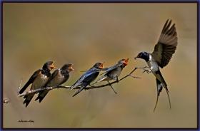 +Kır kırlangıcı - Hirundo rustica - Barn Swallow (Ankara 2010) 1