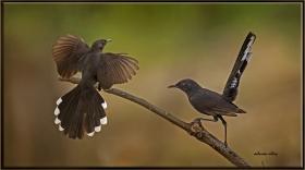 Kara çalı bülbülü - Cercotrichas podobe - Black bush robin (Jizan 2014) 2
