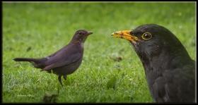 Karatavuk - Turdus merula - Common Blackbird (Amsterdam 2012)