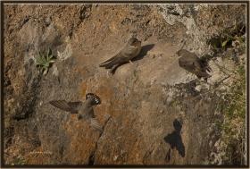 +Kaya kırlangıcı - Ptyonoprogne rupestris - Eurasian Crag Martin (Ankara 2013)