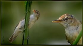 Saz kamışcını (saz bülbülü) - Acrocephalus scirpaceus - Eurasian Reed Warbler (Gölbaşı 2011) 1