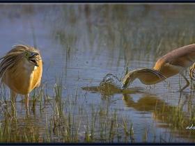 Alaca balıkçıl - Squacco Heron - Ardeola ralloides (Ankara 2015)