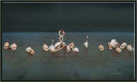 Flamingo - Phoeniconaias - Flamingo (Gölbaşı 2012) 1