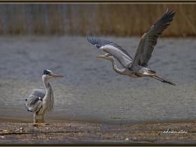 Gri balıkçıl - Grey Heron - Ardea cinerea (Ankara 2015)