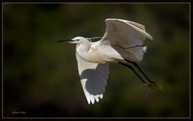 Küçük ak balıkçıl - Egretta garzetta - Little Egret (Ölüdeniz 2010) 3