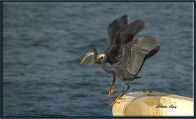 Kıyı balıkçılı (siyah) - Egretta gularis - Western Reef Heron (Jizan 2014) 4