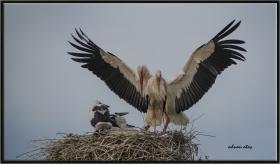 +Leylek - Ciconia ciconia - White Stork (Sarıkamış 2012) 1