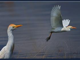 Sığır balıkçılı - Western Cattle Egret - Bubulcus ibis (Ankara 2010)