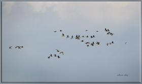 Akyanaklı kaz - Branta leucopsis - Barnacle Goose (Zaanse Schans 2012)