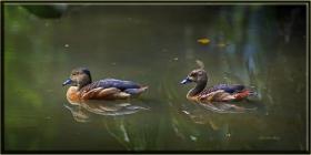 +Java ıslıkçı ördeği - Dendrocygna javanica - Lesser whistling ducks (Kuala Lumpur 2013)