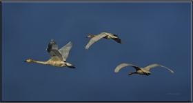 Küçük kuğu - Cygnus columbianus - Tundra Swan (Ankara 2011)