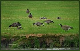 Kanada Kazı - Branta canadensis - Canada goose (Zaanse Schans 2012)