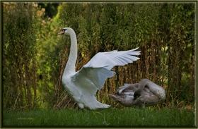 +Kuğu - Cygnus olor - Mute Swan (Berlin 2011) Yavrusu ile