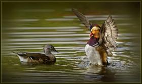 +Mandarin ördeği - Aix galericulata - Mandarin Duck (Berlin 2011)