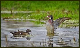 +Orman (Karolin) ördeği - Aix sponsa - Wood (Carolina) duck (Ankara 2011)