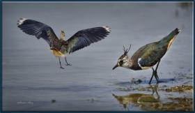 +Kızkuşu - Northern Lapwing - Vanellus vanellus (Gölbaşı 2012) 1