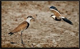 +Mahmuzlu kızkuşu - Vanellus spinosus - Spur winged Lapwing (Belek. Antalya 2011)
