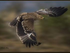 Şah kartal - Eastern imperial eagle - Aquila heliaca (Bolu 2014)