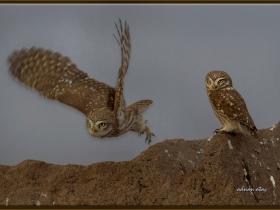 Kukumav - Little owl - Athene noctua (Ankara 2014)