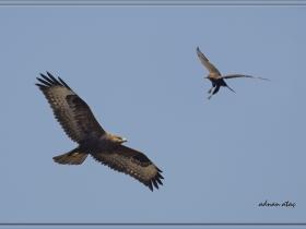 Tavşancıl - Bonelli`s Eagle - Aquila fasciata (Ankara 2011)